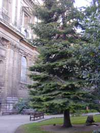 giant fir tree