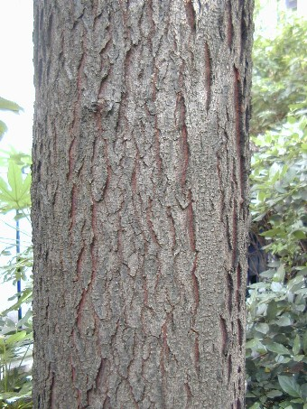 Trees of London: Identification of a honey locust tree ...