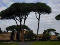 Stone pines at the baths of Caracalla